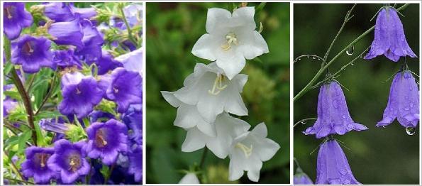 çan çiçeği hakkında bilgi