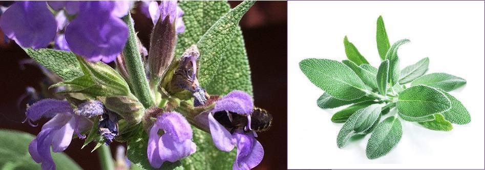 Adaçayı Çiçeği