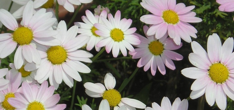 Bursa'da yetişen Çiçekler