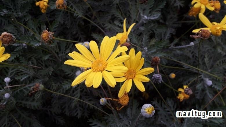 Güllerde görülen hastalık çeşitleri, Güllerde hastalık, gül hastalığı, güllerdeki hastalıklar, çiçeklerde hastalıklar, çiçek hastalığı, çiçek türlerinde hastalıklar