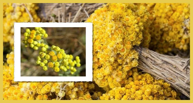 dudiye altınotu çiçeği