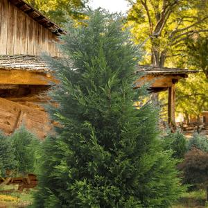 leylandi ağacı