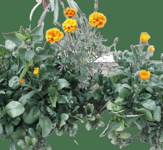 Susuzluğa dayanıklı mezarlığa dikilecek çiçekler