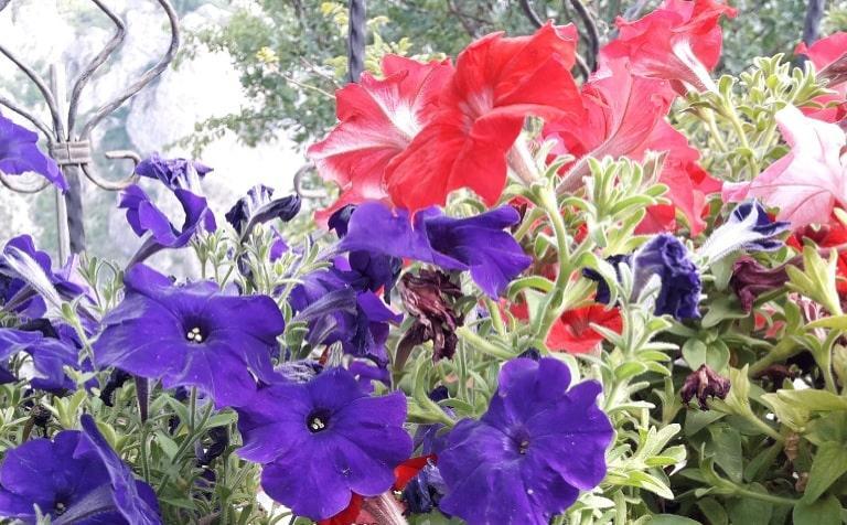 Susuzluğa dayanıklı mezar çiçekleri isimleri