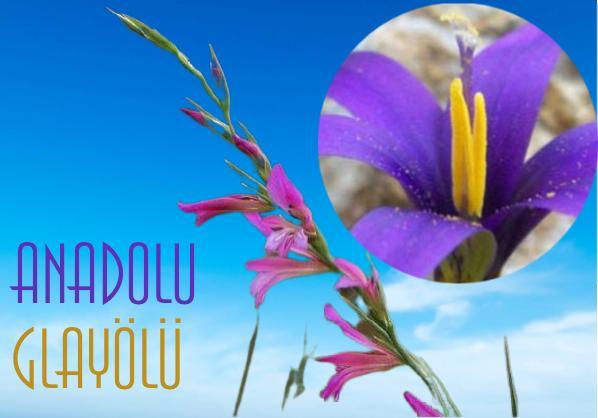 Anadolu Glayölü endemik bitki