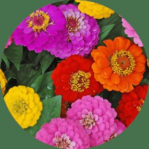 Kirli hanım çiçeği ne zaman çiçek açar