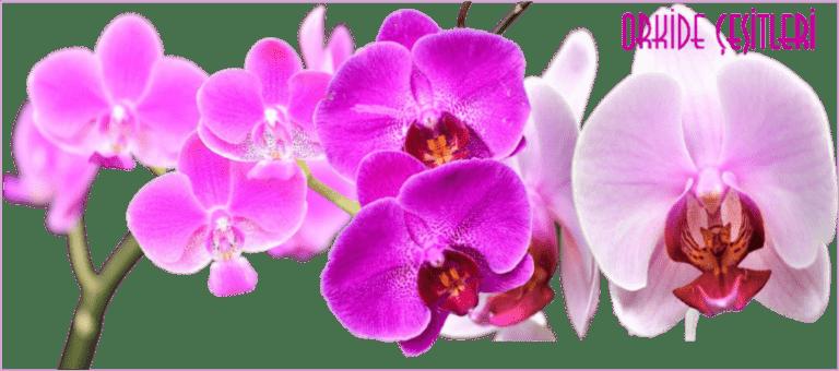Orkide Çiçeği Bakımı ve Sulama