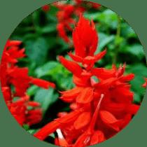 ateş çiçeği bakımı