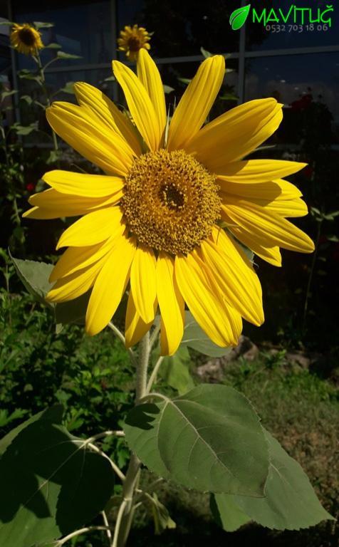 çok yıllık çiçek çeşitleri, çok yıllık bitkiler