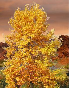 lale ağacı hakkında bilgi