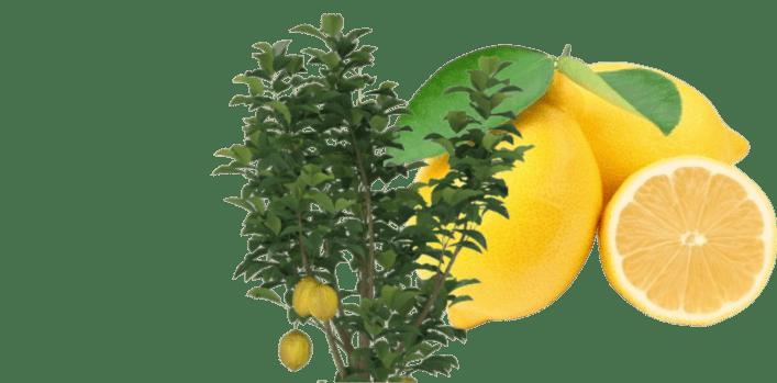 limon ağaçları nasıl ve ne zaman budanmalı