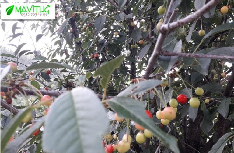 meyve ağacı budama faydaları, meyve ağacı nasıl budanır, meyve ağacı budama şekli