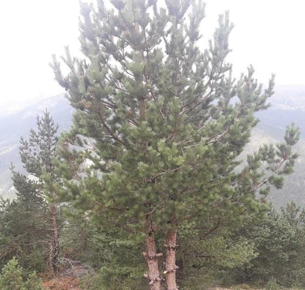 mezarlığa dikilecek ağaç çeşitleri