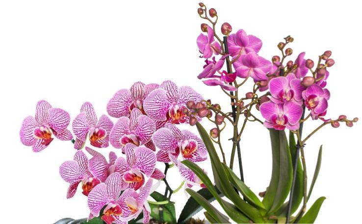 Orkide Çeşitleri Nelerdir Kaç Çeşit Orkide Vardır