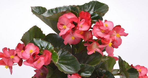 begonya çiçeği bakımı ve sulama